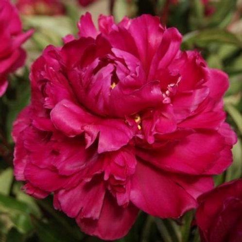 Peony Lactiflora - Karl Rosenfield