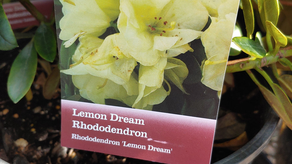 Rhododendron - Lemon Dream