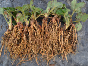 Bare Root Planting: When, How, WHY?!