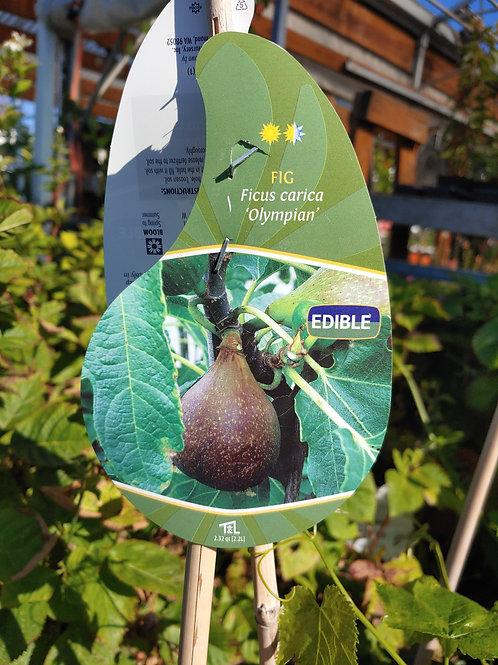 Fig - Olympian Fig