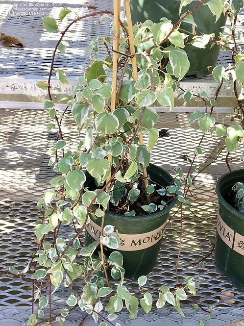 Hydrangea Vine - Lacey Hearts