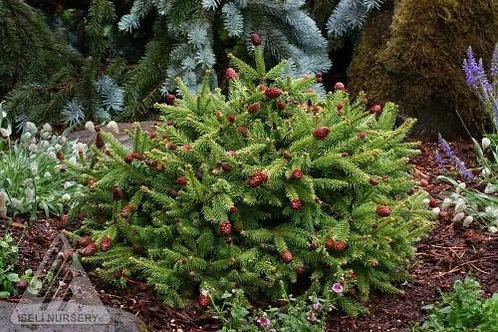 Norway Spruce - Pusch