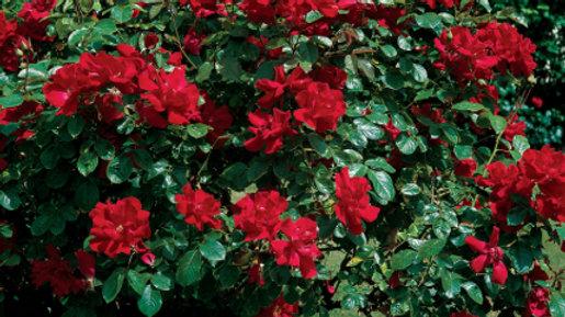 Rose - Don Juan