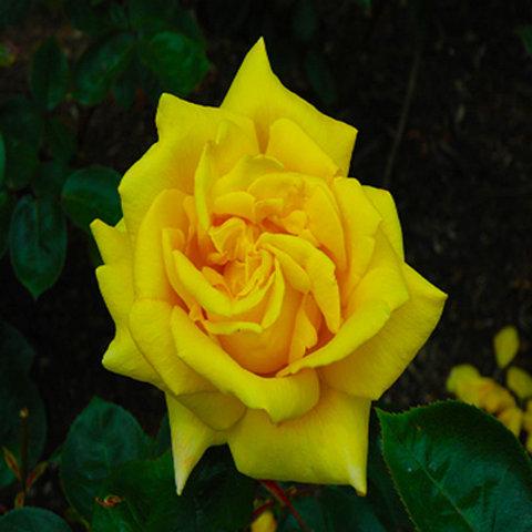 Rose - Oregold
