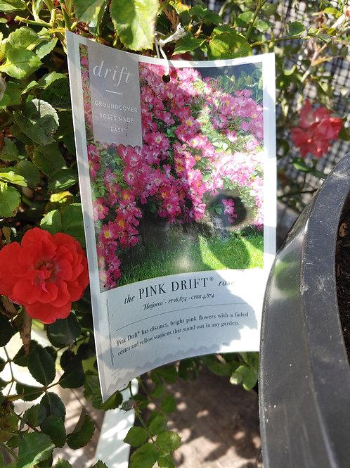 Rose - Pink Drift