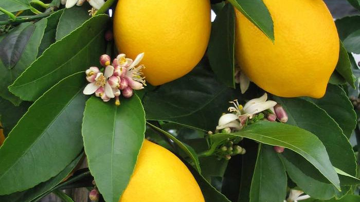 Lemon - Meyer Improved