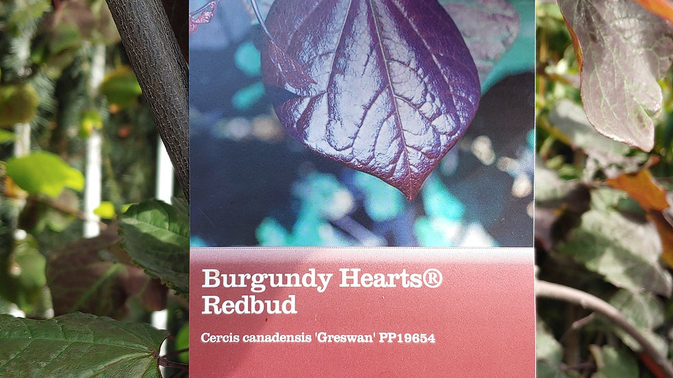 Redbud -Burgundy Hearts
