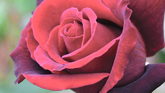 Rose - Lasting Love