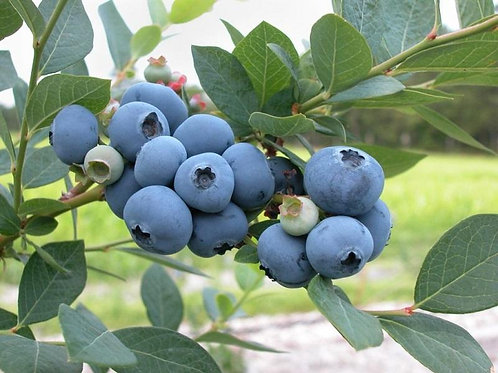 Blueberry - Blueray