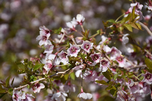Cherry - Little Twist Flowering