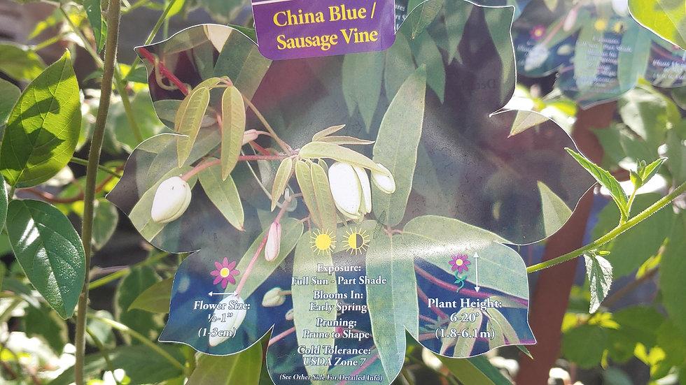 China Blue Vine