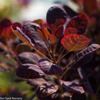 Smoke bush