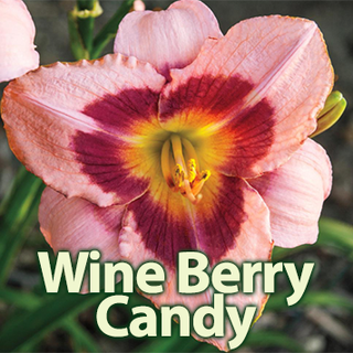 Wine Berry Candy