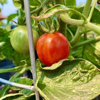 Tomatoe!