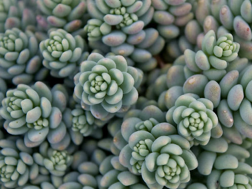 Sedum Stonecrop - Major