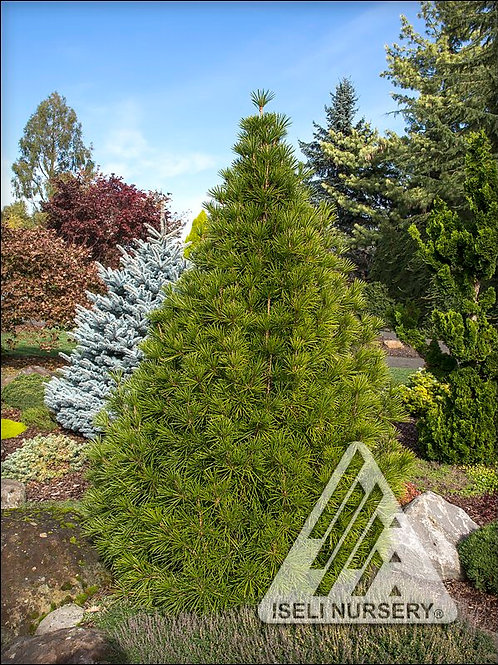 Japanese Umbrella Pine - Picola