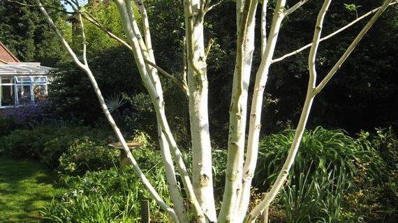 Birch - Himalayan White Multi-Stem