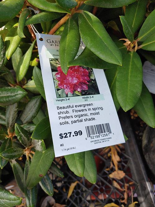 Rhododendron - Skookum