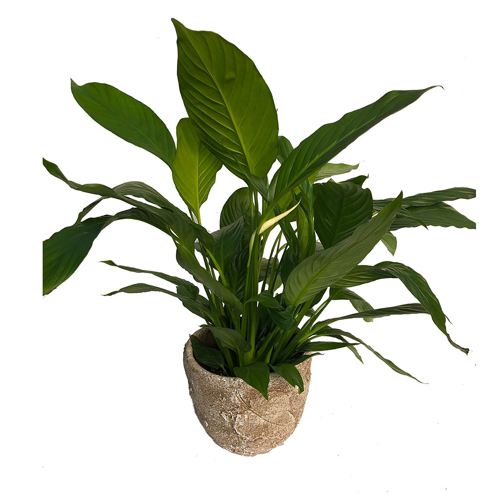 Gardenspot | Houseplants on house plants with yellow and green leaves, house plants that bloom, house plant green and white, house plants with pink, house plants that flower, house plants with lily, peace lily with pink blooms, house plants with variegated leaves, house with flowers, house plant which blooms flowers, house plants with red, water plants with white blooms,