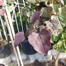 Redbud: Burgundy Hearts
