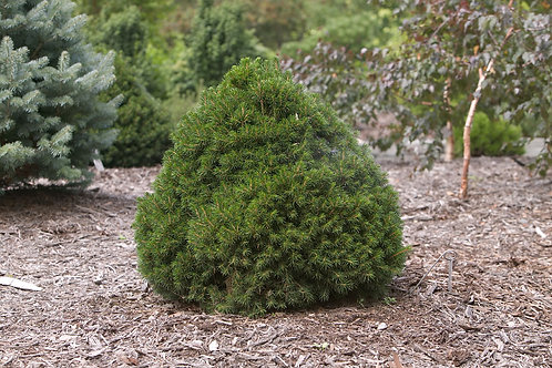 Norway Spruce - Tompa