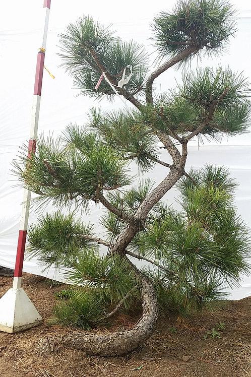 Japanese Black Pine - Hakuho