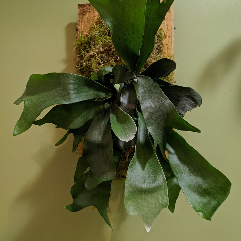 Mount a staghorn fern with Katharine!