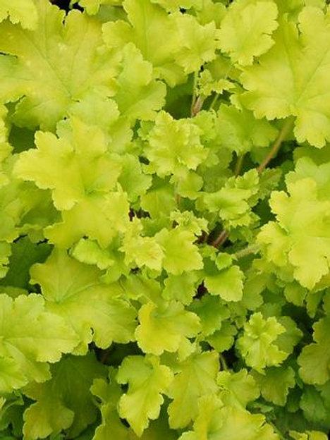 Heuchera - Lime Marmalade