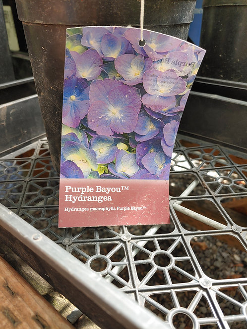 Hydrangea - Purple Bayou