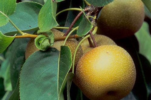 Pear - Nieshike
