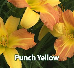 Punch Yellow