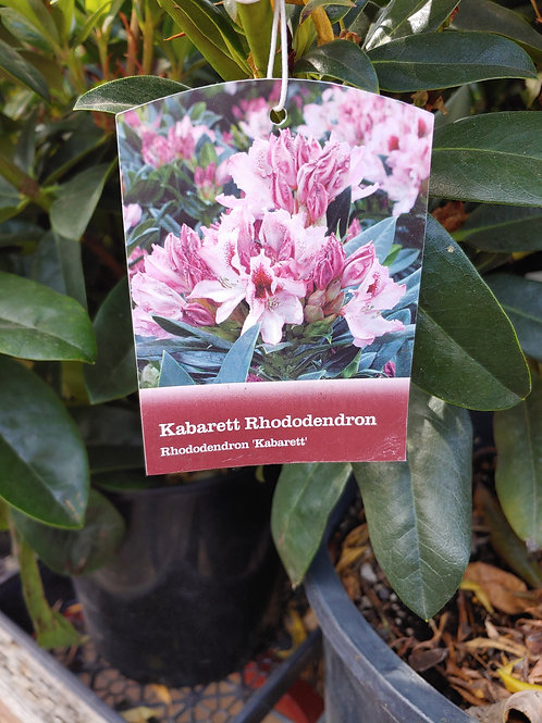 Rhododendron - Kabarett