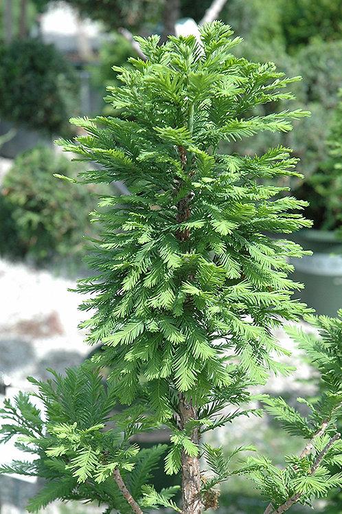 Bald Cypress - Peve Minaret
