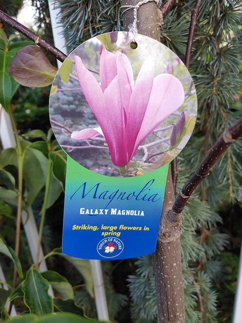 Magnolia - Galaxy
