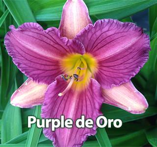 Purple de Oro