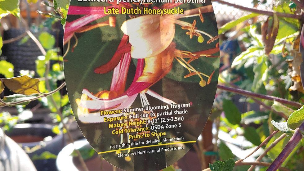 Honeysuckle - Serotina Late Dutch