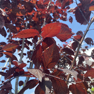 Red Jeweled Leaves