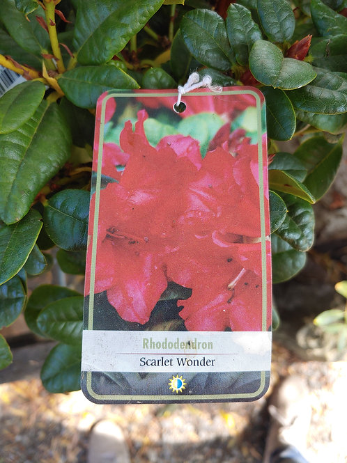 Rhododendron - Scarlet Wonder