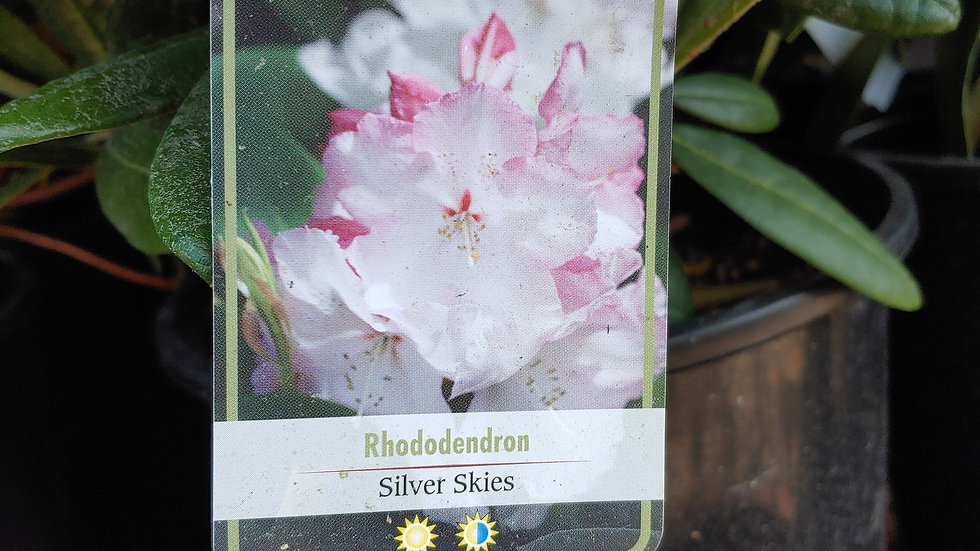 Rhododendron - Silver Skies