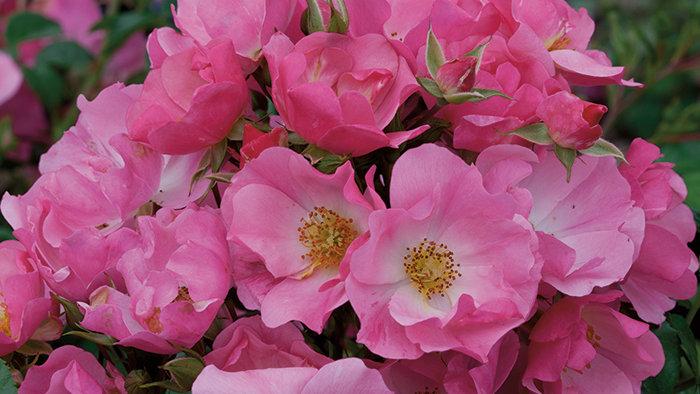Shrub Rose - Pink Snowflake