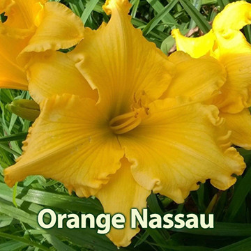 Orange Nassau