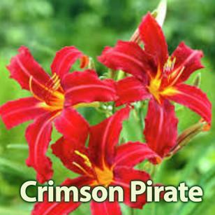 Crimson Pirate