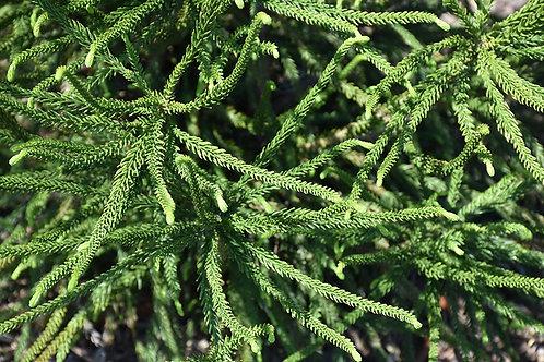 Japanese Cedar - Araucarioides