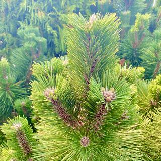 Thunderhead Conifer