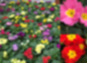 primroses on table2.jpg