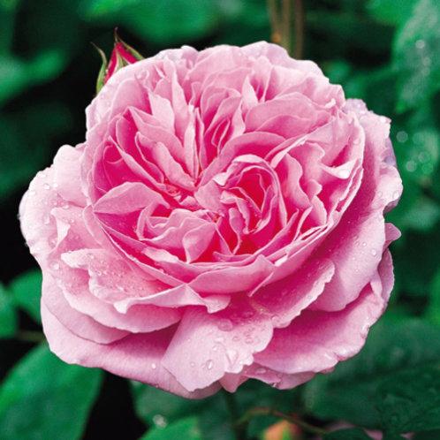 David Austin Rose - Mary Rose