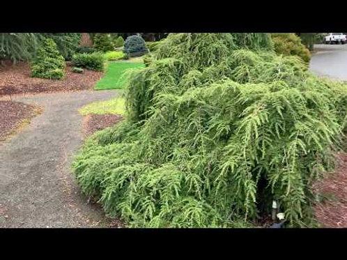 Oriental Spruce - Firefly