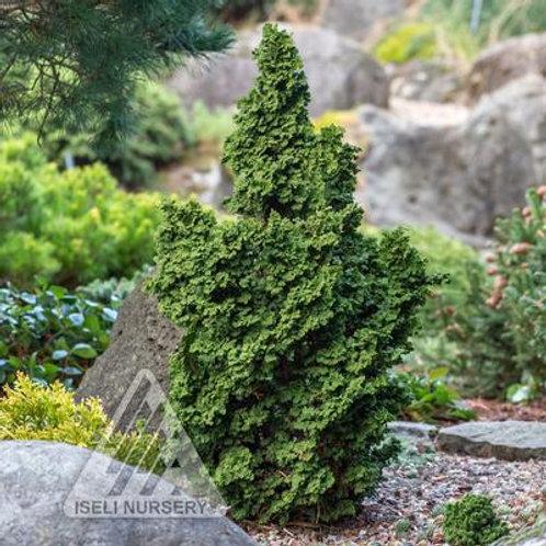 Arborvitae - Primo