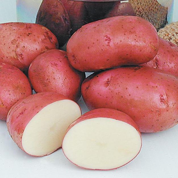 Red Norland Potato