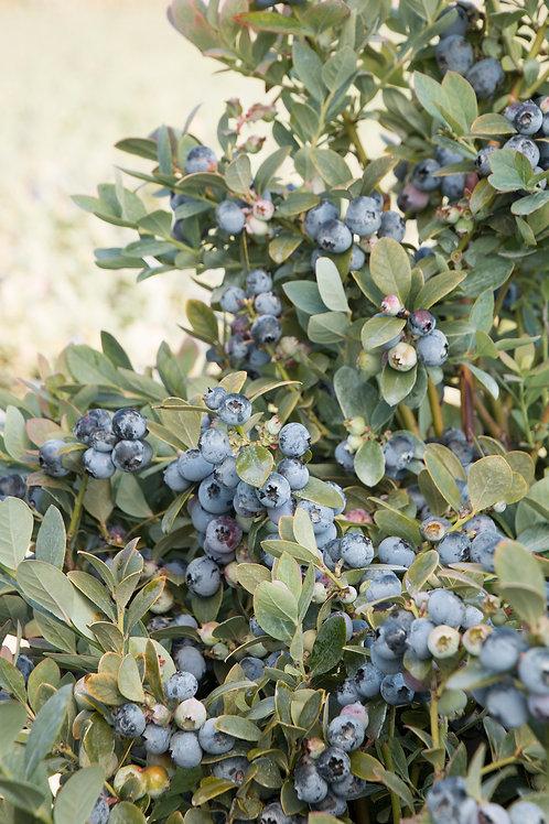 Blueberry - Bountiful Blue
